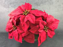 33CMH RED POINSETTIA BUSH